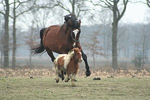 English: The little pony was teasing his big f...
