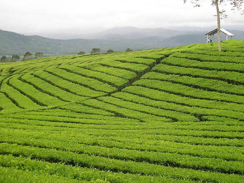 Berkas:Mount-dempo-tea-plantation.jpg