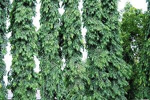 Mast-trees Polyalthia longifolia
