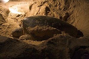 Green turtle nesting at Ras al-Jinz, Oman