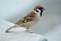 At the direction of Chairman Mao, sparrows were killed by the peasants, causing a major ecological imbalance in the environment