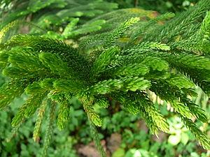 Norfolk Island Pine Deutsch: Norfolk-Tanne