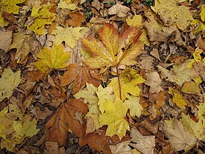 Leaf litter (including maple and oak) on a pon...