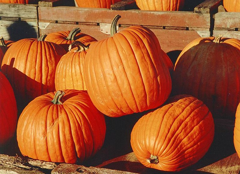 A lovely big pile of Autumnal pumpkins for eating in Autumn