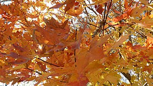 English: Fall maple leaves on a tree.