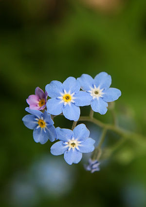 English: Forget-me-not flowers. Türkçe: Unutma...