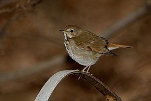 English: Hermit thrush