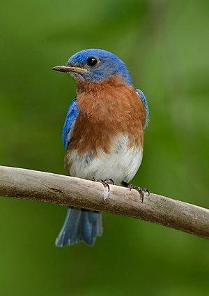 English: Eastern bluebird