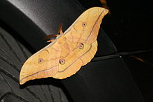 Antheraea yamamai -from silk to Mach number (4/6)