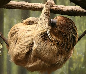 Linnaeus's Two-toed Sloth (Choloepus didactylu...