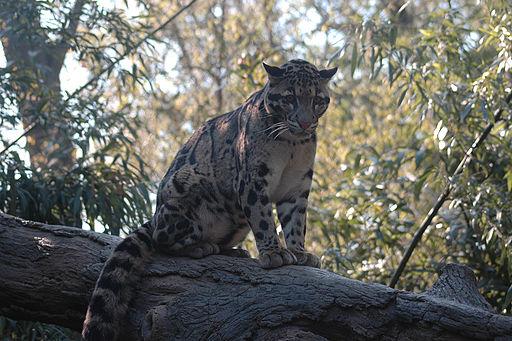 Clouded Leopard b d