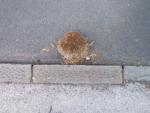 Dead hedgehog (roadkill) at the side of a road.
