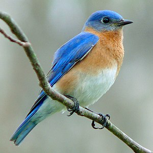 An Eastern Bluebird (Sialia sialis). Photo tak...