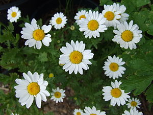 Several daisies (Asteroideae) top