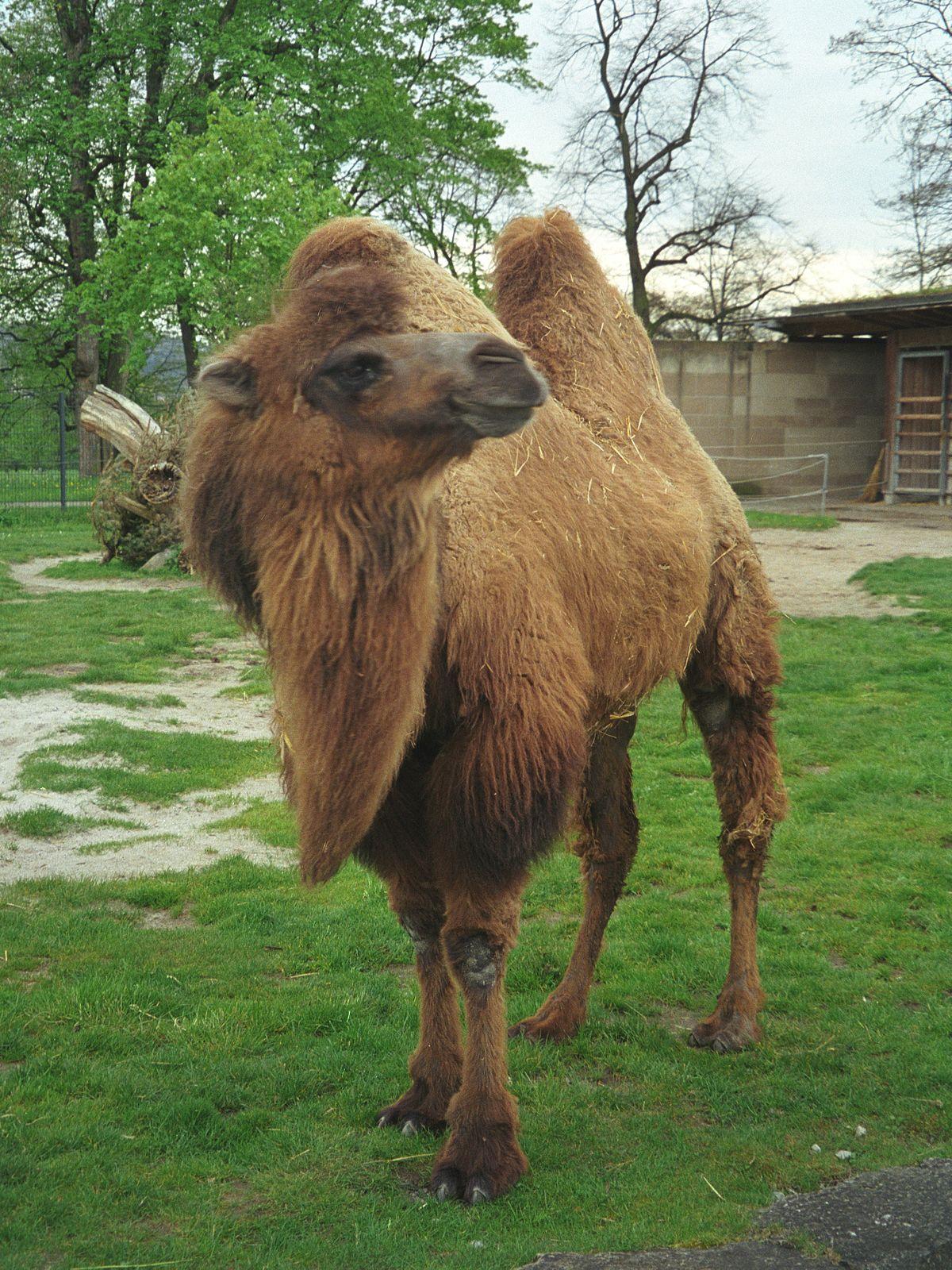 Camello Color Wikipedia La Enciclopedia Libre