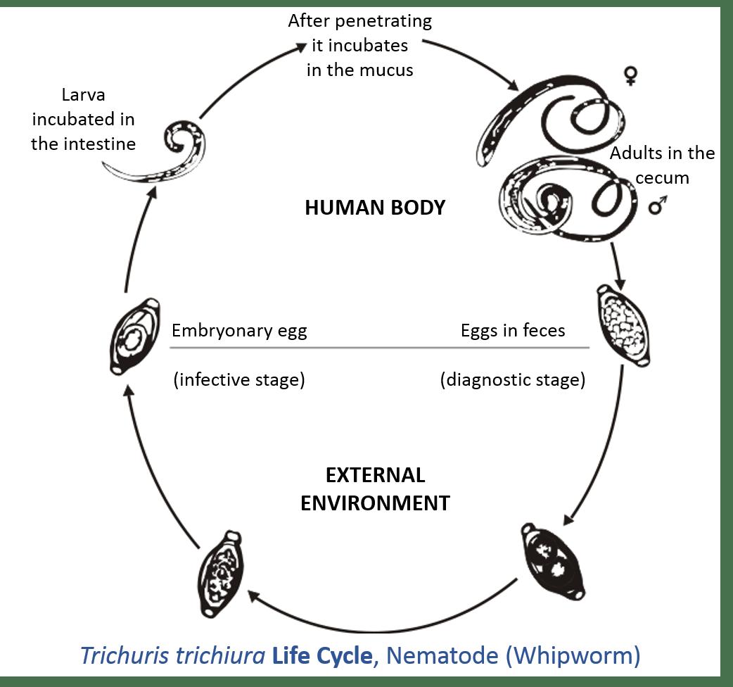 Diagram Of Schistosoma Egg
