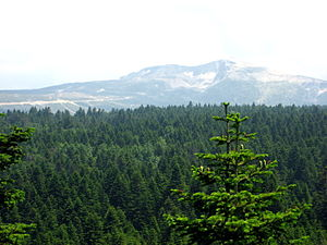 Abies nordmanniana subsp. bornmuelleriana fore...