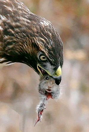 cropped from Image:Hawk eating prey.jpg, for t...