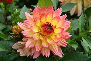 Dahlia 'Graceland'. Français : Fleur de Dahlia...