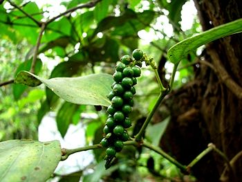 English: Pepper yet to be ripened, taken by me...