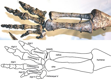 File:Plateosaurus arm and hand.jpg