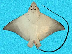 Spotted Eagle Ray Wikipedia