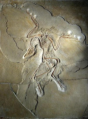 Archaeopteryx lithographica, specimen displaye...