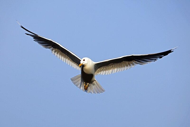 File:Bird in flight wings spread.jpg