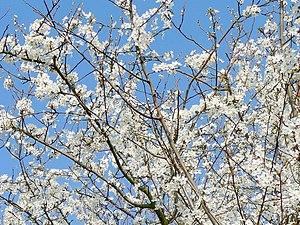 Boughs of plum blossom. An ornamental plum tre...