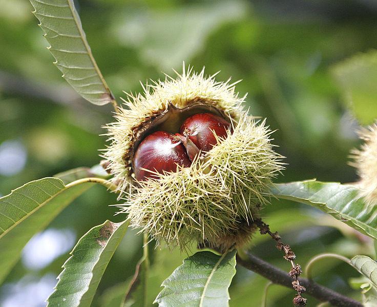 File:Chestnuts.jpg