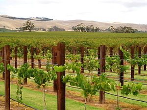 A vineyard in the South Australian wine region...