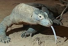 Komodo dragon with tongue.jpg