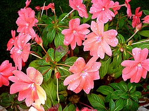 English: New guinea impatiens shot at Munnar..