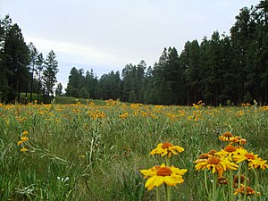 Apache Sitgreaves National Forest. Near the AZ...