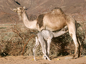 English: Sahara camel calf feeding from her mother