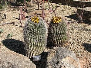 English: Fishhook Barrel cactus (Ferocactus wi...