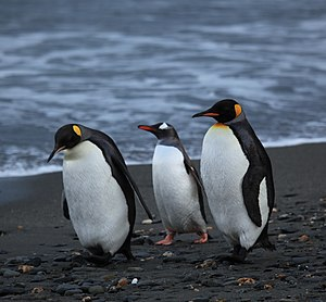 One Gentoo Penguin and two King Penguins walki...