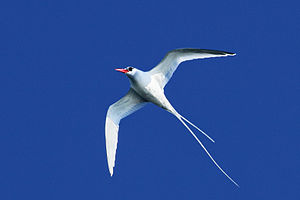 Red-billed tropic bird, Phaethon aethereus, fl...