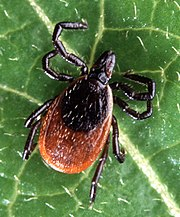 Adult deer tick, Ixodes scapularis