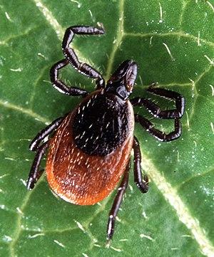Adult deer tick, Ixodes scapularis.