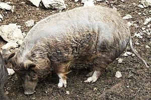 Deutsch: Albrecht-Dürer-Schwein im Wildpark Hu...
