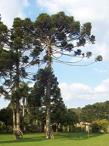https://i2.wp.com/upload.wikimedia.org/wikipedia/commons/thumb/9/9f/Auracaria_angustifolia.JPG/220px-Auracaria_angustifolia.JPG