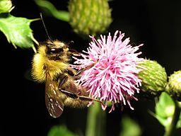 Bumble Bee - Flickr - treegrow