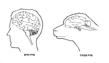 English: sheep and human brain עברית: מוח כבשה...