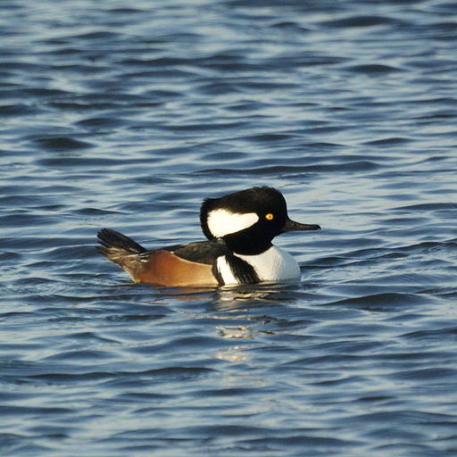 Hooded Merganser (5129893712)