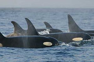Resident (fish-eating) killer whales. The curv...