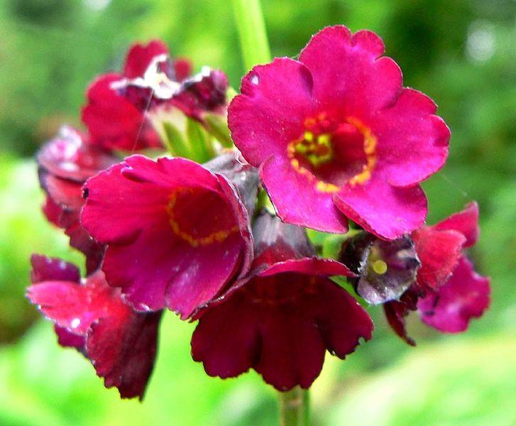 File:Primula anisodora flowers.jpg