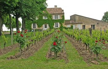 Vineyards in Saint-Émilion.