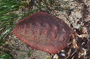 Cryptochiton stelleri. You can see the dorsal ...