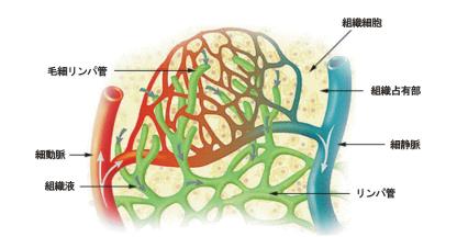 ファイル:Illu lymph capillary-ja.png